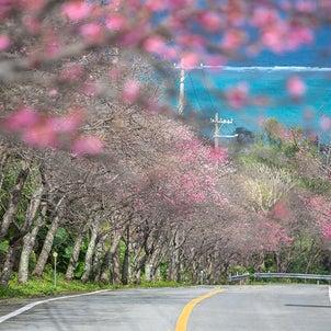 ■桜のピンクと珊瑚礁の海の青■ 1月、沖縄ではもう桜満開の画像
