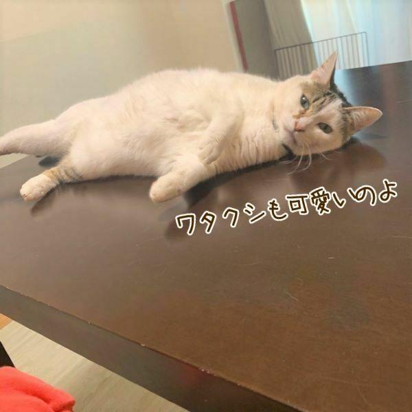 テーブルに横たわる猫のれんげさんの画像