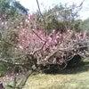 梅の花と体調面の画像