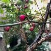 梅の木の成長の画像