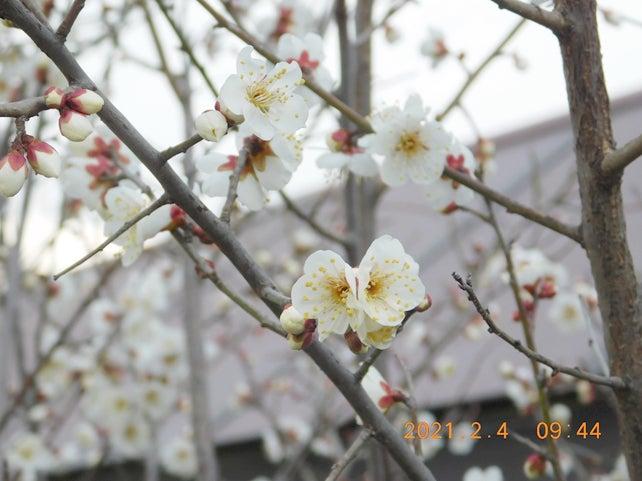 茨木市葦原多世代交流センター 白梅が開花しました