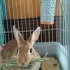 これがウサギの偽妊娠の画像