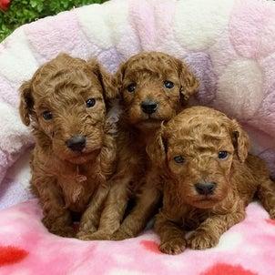 トイプードルの子犬生まれてます♪~家族が決まりました~の画像