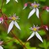 今日の花【雪の下・Strawberry Geranium】キミトミタイセカイの画像