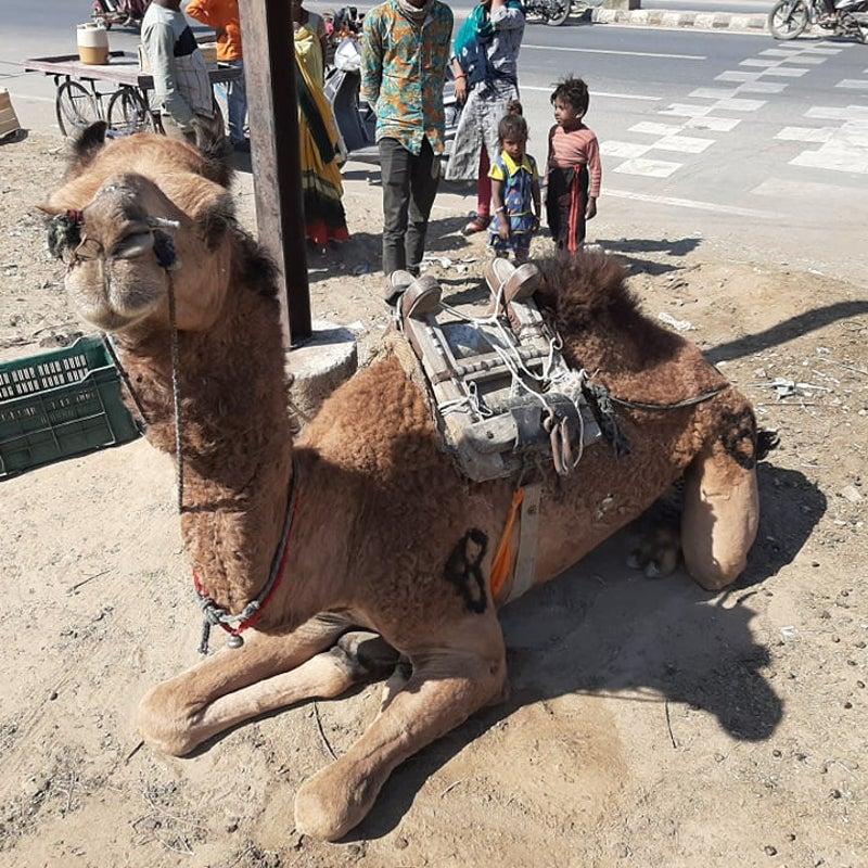 ラクダ 画像 アルツハイマー