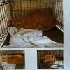 茶トラのオス猫を探しています!うるま市石川 ← 見つかりました!の画像