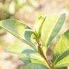 「お茶農家さんが教える、紅茶・番茶つくり体験」開催です♪の画像
