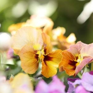 花数ふやして庭花ちゃん(ラナンキュラス・ヒヤシンス)&大ちゃんの作業所でランチ♪の画像