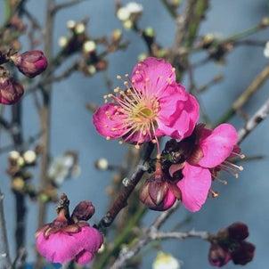 花見山の梅の画像