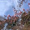 【林試の森公園】の河津桜が咲き始めてました。の画像