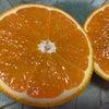 本能が喜ぶタンカン 『屋久島のドキドキオレンジ』のお知らせの画像