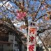 桑名 桜 開花の画像
