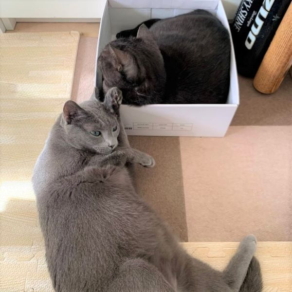 箱のクロちゃんの横で顔をこするロシアンブルーのレオの画像