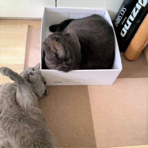 箱の角に頭を擦りつけるロシアンブルーのレオの画像