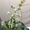 ドラセナ開花しました。の画像