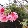 桜の季節になりましたINハワイ島の画像