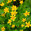 今日の花【立金花(リュウキンカ)】「必ず来る幸福」の画像