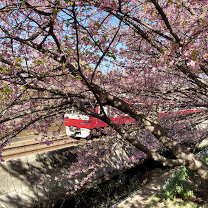 三浦海岸の河津桜が満開です!の画像