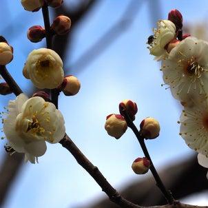 岐阜市梅林公園(2021年2月13日撮影)の画像