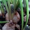 ゲーテ・シュタイナー的植物観察で得られることの画像