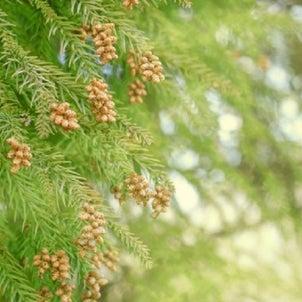 花粉症対策 杉を伐採してドングリをの画像