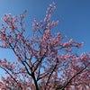 河津桜?の画像