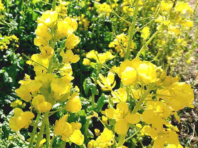 菜の花が満開
