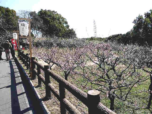 知多市佐布里池(緑と花のふれあい公園)梅まつり