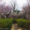 (世田谷区)【羽根木公園】で梅見物。の画像