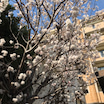 毎年 桜の花が見られるのです・丁度一年です