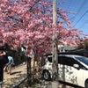 寺町 河津桜 満開の画像