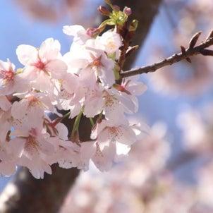 桜の季節~大船フラワーセンター玉縄桜に会いに♪の画像
