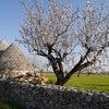 アーモンドの花とトゥルッリの春模様の画像