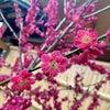 梅の花が咲きましたの画像