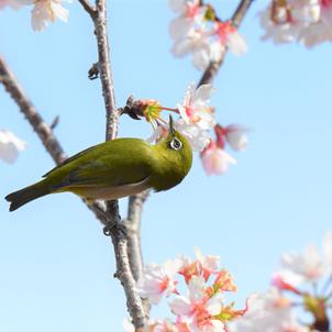 桜とメジロ!の画像