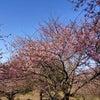 岡部榛の森公園の河津桜と本庄早稲田の森 2021.2.27(土)の画像