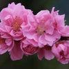 お花をあげましょ 桃の花~♬の画像