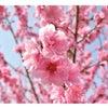 桃の節句の画像