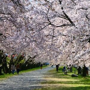 春の行楽に合わせたい!!新作桜デザインネイルの画像
