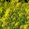 【茶花から日本を學ぶ】利休居士と菜の花の全て★男の茶道★沼尻宗真の画像