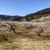 越生の梅林はほぼ満開 2021.3.4(木)の画像