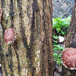 画像 裏庭の原木シイタケが一晩で大きくなりました の記事より 2つ目
