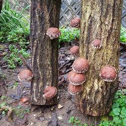 画像 裏庭の原木シイタケが一晩で大きくなりました の記事より 3つ目