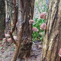 画像 裏庭の原木シイタケが一晩で大きくなりました の記事より 4つ目