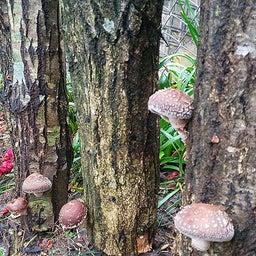 画像 裏庭の原木シイタケが一晩で大きくなりました の記事より 5つ目