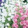 今日の花【Campanula ・ 風鈴草】の画像