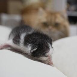画像 子猫とマンチカン家族 の記事より 6つ目