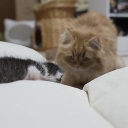 画像 子猫とマンチカン家族 の記事より 5つ目