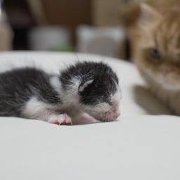 画像 子猫とマンチカン家族 の記事より 2つ目