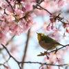 ♪河津桜と♪の画像